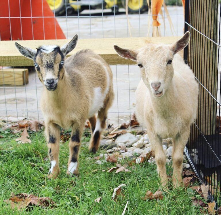 7 reasons why you NEED Nigerian Dwarf Goats in your life