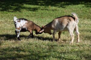 goats-playing