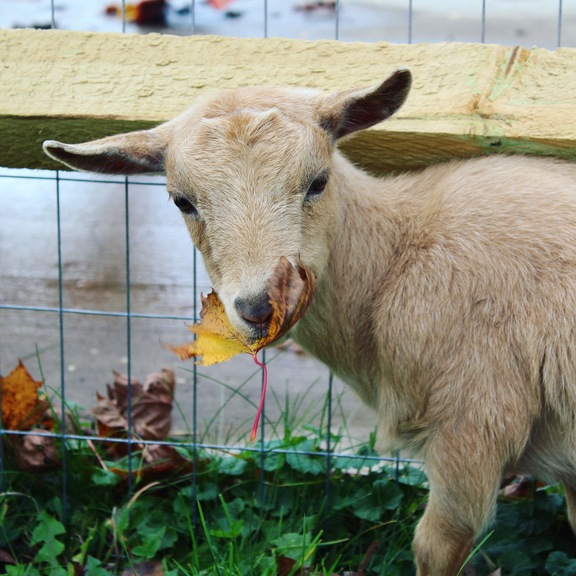 What do goats eat? A complete guide for feeding goats!