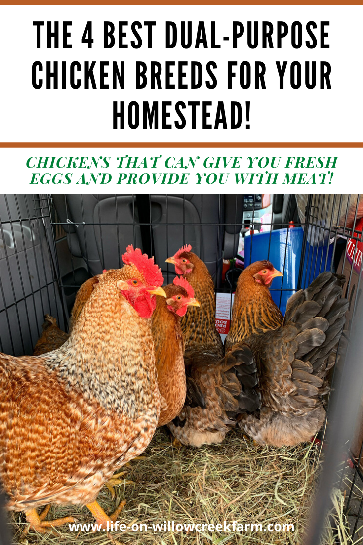 The 4 Best Dual Purpose Chicken Breeds for your Homestead